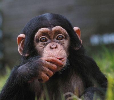 Chimpanzee at Dublin Zoo